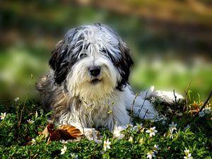 Hund - PON - Polski Owczarek Nizinny, polnischer Niederungshütehund