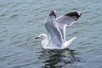 Möwe breitet ihre Flügel aus von Merijn Loch