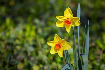 Daffodils duo van Ursula Di Chito