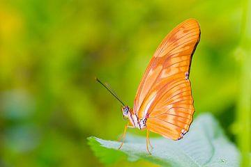 Butterfly passion sur Pascal Marcelis