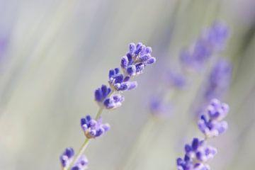 Lavendel bloem met wazige achtergrond van Anne Dellaert