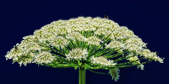 De bloem van een Berenklauw plant in de zomerzon van Harrie Muis