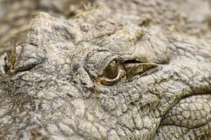 Krokodillenoog van