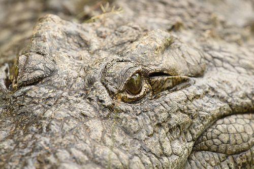 Krokodillenoog von