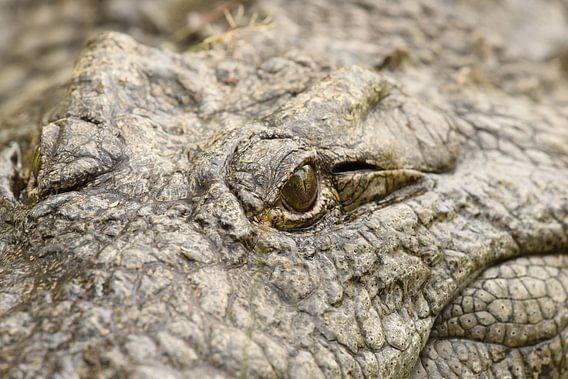 Krokodillenoog van Frank Heinen