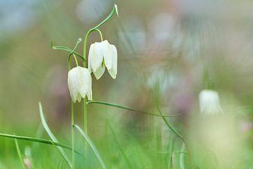 Witte kievitsbloemen van Ad Jekel
