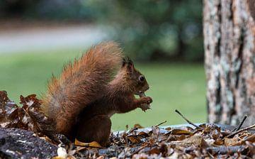 rode eekhoorn zoekt voedsel op een herfsttafel van Compuinfoto .