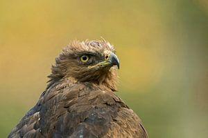 Lesser Spotted Eagle ( Aquila pomarina ), headshot