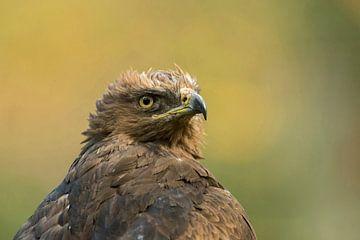 Lesser Spotted Eagle ( Aquila pomarina ), headshot van wunderbare Erde