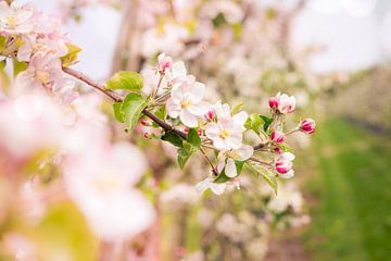 bloesem appelboomgaard 2 von Karin Verhoog
