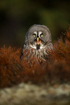 happy owl... Great Grey Owl *Strix nebulosa* van wunderbare Erde