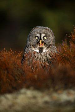 happy owl... Great Grey Owl *Strix nebulosa* van