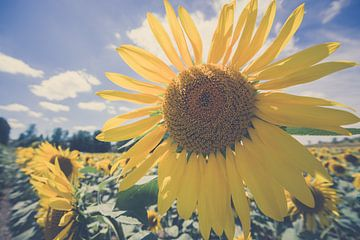 Heldergele zonnebloem in veld met diep blauwe hemel van