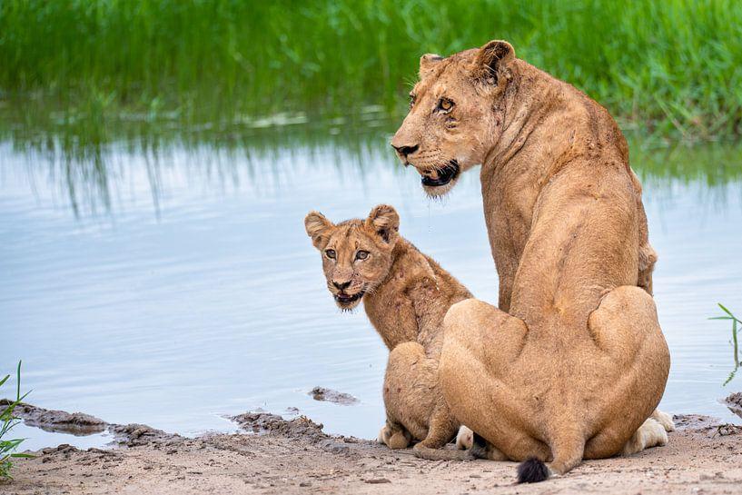 Leeuwin met welpje aan de waterkant van Inez Allin-Widow