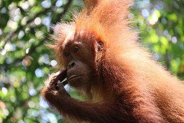 Baby Orang Oetang van Kevin Kardux