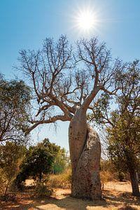 Baobab Amoureux van