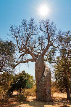Baobab Amoureux von Dennis van de Water