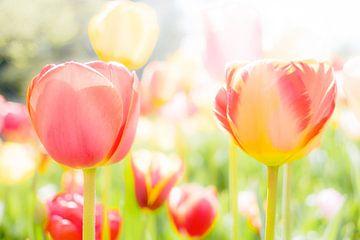 Tulipes sur Eddy Westdijk