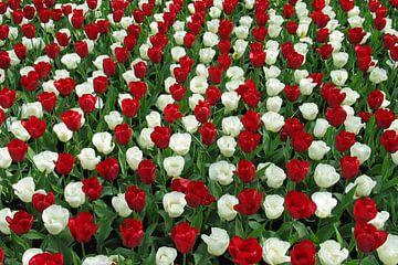 Tulpen van Anouk Davidse