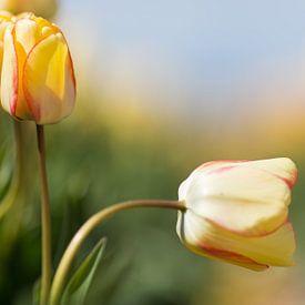 Tulp van Robert van Grinsven
