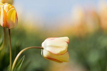Tulp von Robert van Grinsven