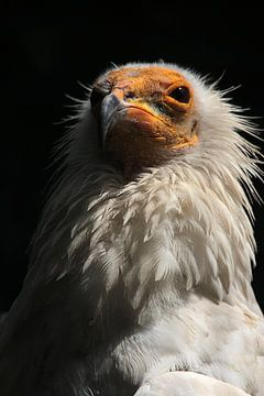 Egyptische gier van Saskia Hoks