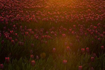 Tulpen in het eerste ochtendlicht van Ina Muntinga