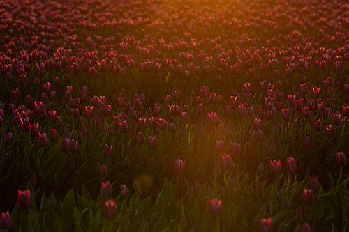 Tulpen in het eerste ochtendlicht