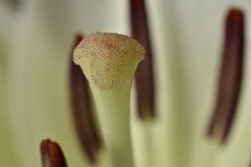 Lilienblüte von Philipp Klassen