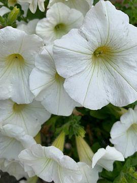 Blume von Janneke Bijl