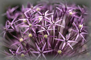 Allium sur Rob Boon