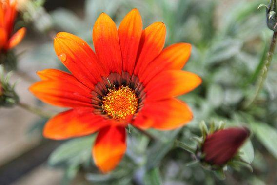The Flower with Fire van Cornelis (Cees) Cornelissen