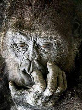 Gorilla ; Tierpark Blijdorp von Loek Lobel