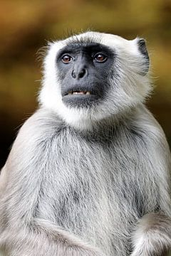 Hanuman langoer  van Edwin Butter