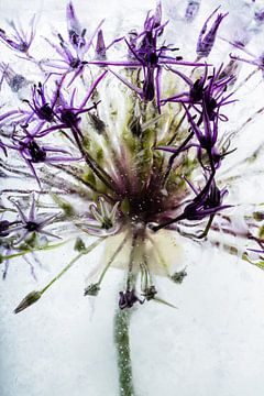 Allium kristallklarem Eis