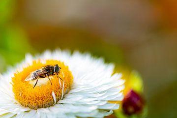 Blume mit Schwebfliege. von Anneke Hooijer