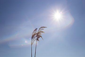 riet in de zon van