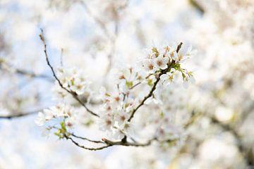 Japanische Blüte von Voorbeeld Fotografie