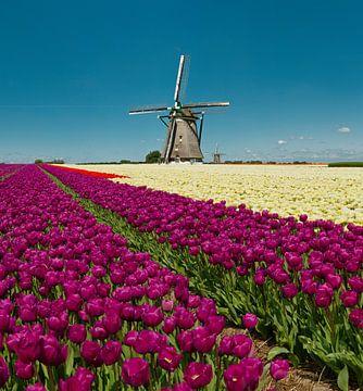 Windmühle mit Zwiebelfeld aus roten und gelben Tulpen, Niederlande, Trick, Montage von Rene van der Meer