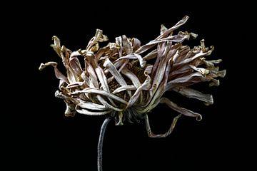 Vergaande opgedroogde bloem