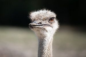 Struisvogel close-up bruine ogen