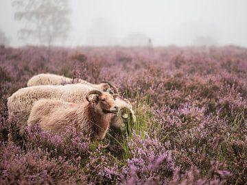 auf der Heide grasen von Tania Perneel