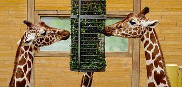 Girafes sur Fred Bogers