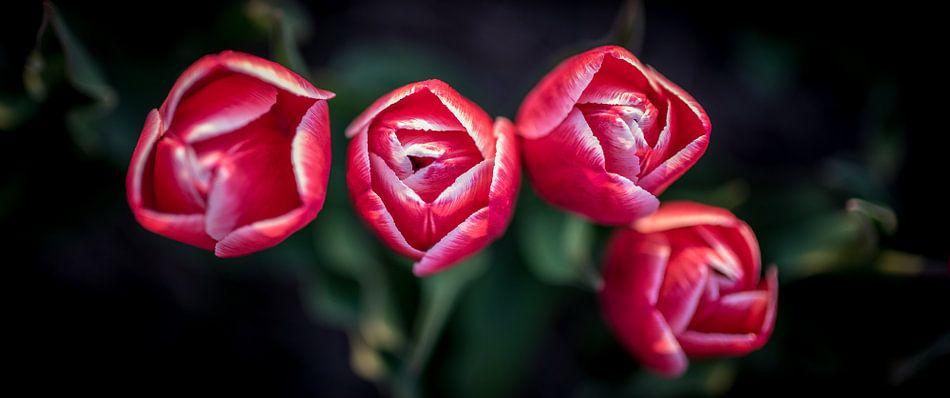 Rode tulpen close up van Arjen Schippers
