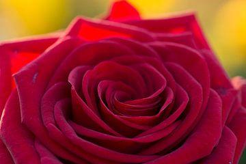 Rode roos van Cathy Php