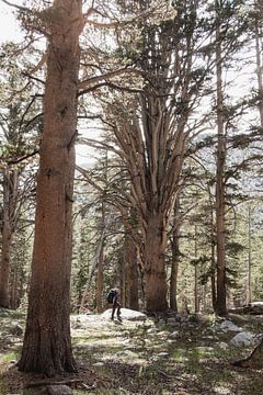Hiker omringd door gigantische bomen in de bossen van Sierra Nevada van Moniek Kuipers