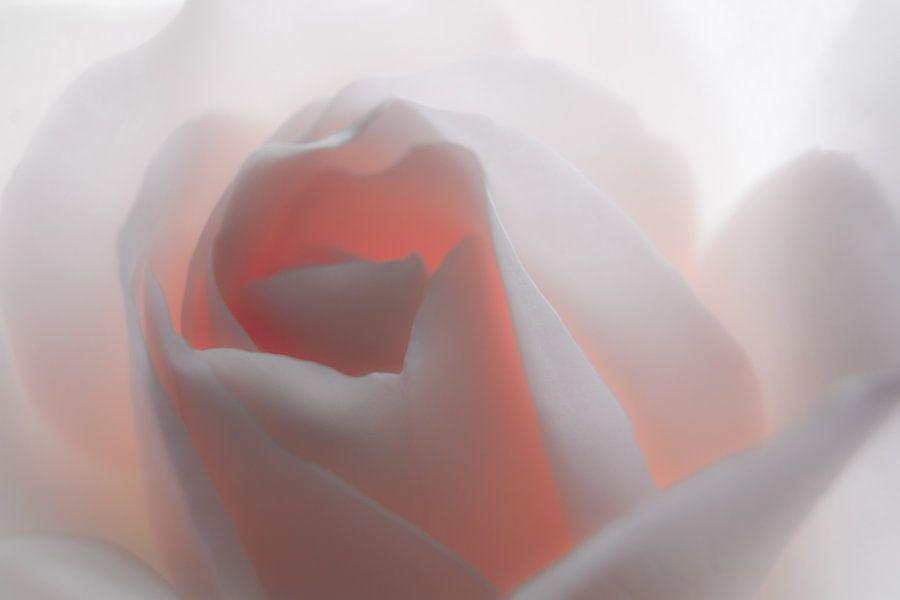 """""""White"""" Rose"""