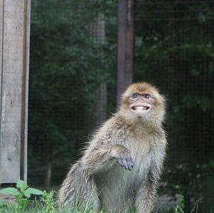 Der lächelnde Affe