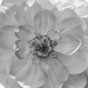Herz der Dahlien, schwarz-weiß von Rietje Bulthuis