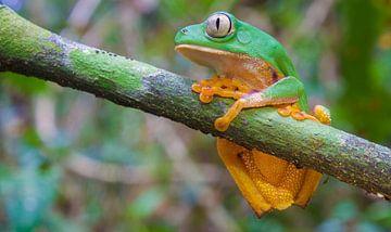 Barred monkeyfrog von